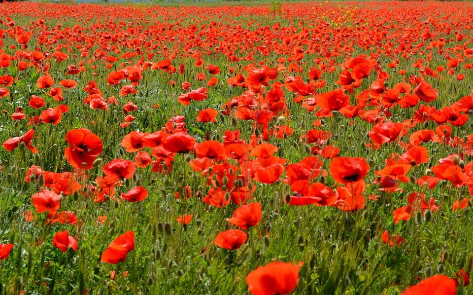 poppies-477862_960_720